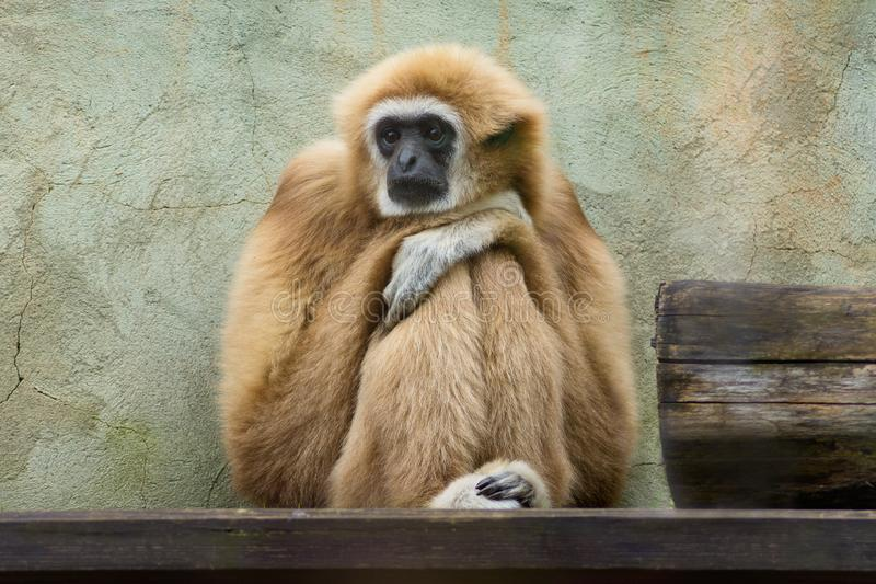 Sad gibbon stock photo