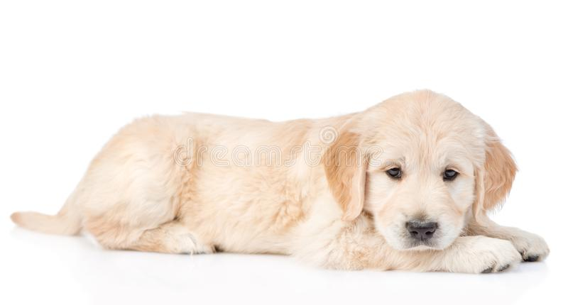 Sad golden retriever puppy. isolated on white background.  royalty free stock photo