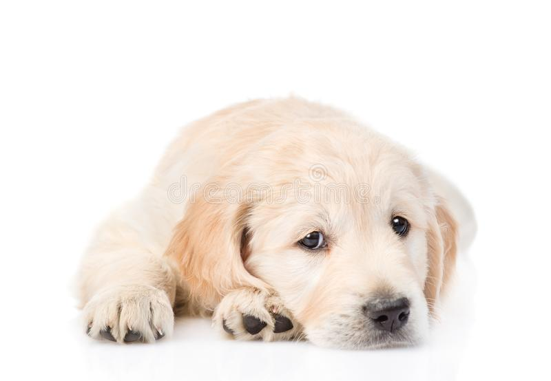 Sad Golden Retriever puppy lying in front view. isolated on white royalty free stock photo