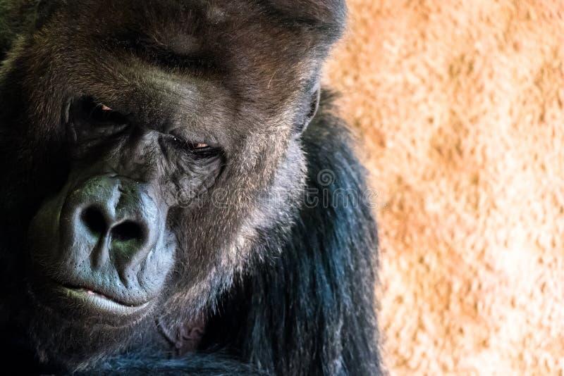 Sad gorilla at the stock photo
