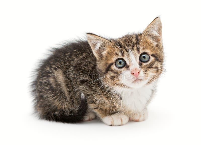 SAD grå kattunge royaltyfri foto