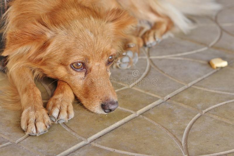 SAD hundhemlös arkivfoton
