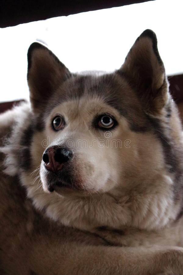Sad husky dog with blue eyes lying and waiting for owner. Cute white and grey purebred husky. Dog`s devotion. stock photo