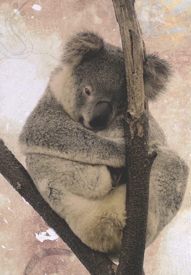Sad koala na bezlitosnej gałęzi zdjęcia stock
