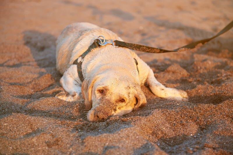 Sad labrador dog laying on set stock photos