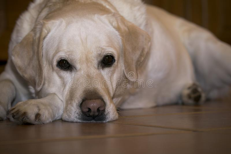 Sad labrador in expectation of the owner. royalty free stock images