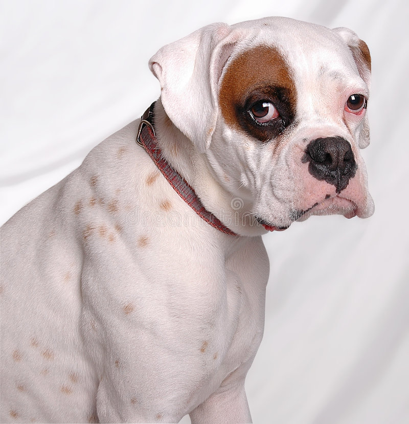 Sad Lily. This is a sad little boxer dog named Lily stock image