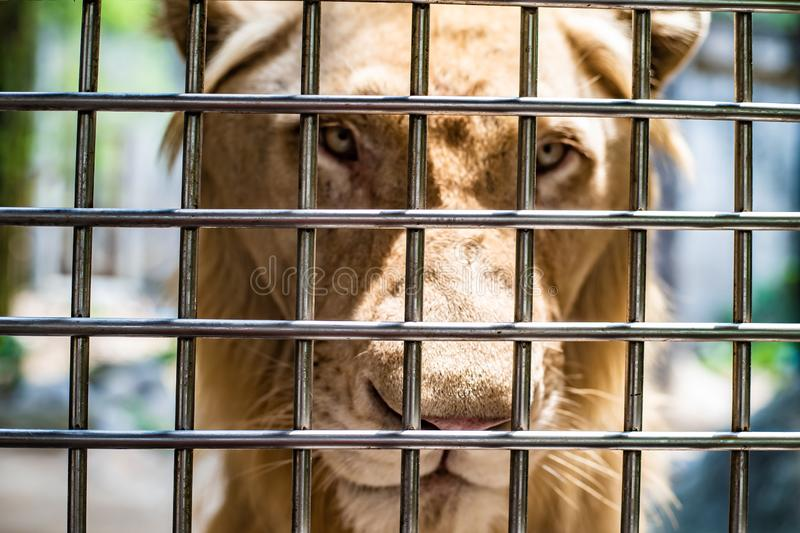 A sad lioness in the cage of the zoo. A lonely lioness is locked up royalty free stock photos