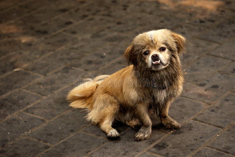 SAD liten kinesisk hund royaltyfri bild