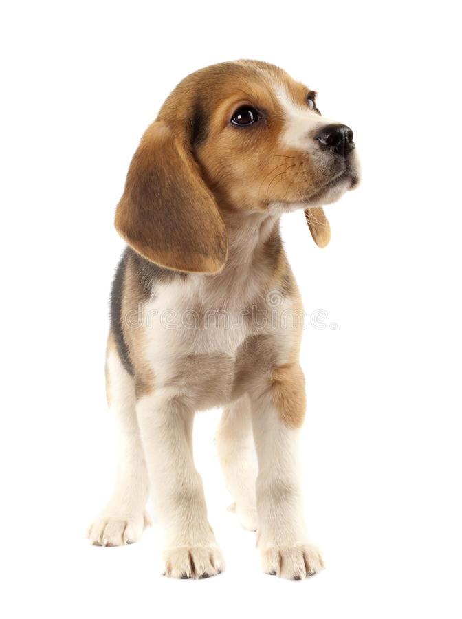 Sad little beagle royalty free stock images