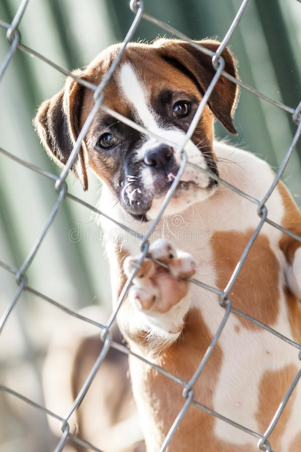 Sad Little Puppy. Sad little brown and white puppy caged behind a chain link fence stock image