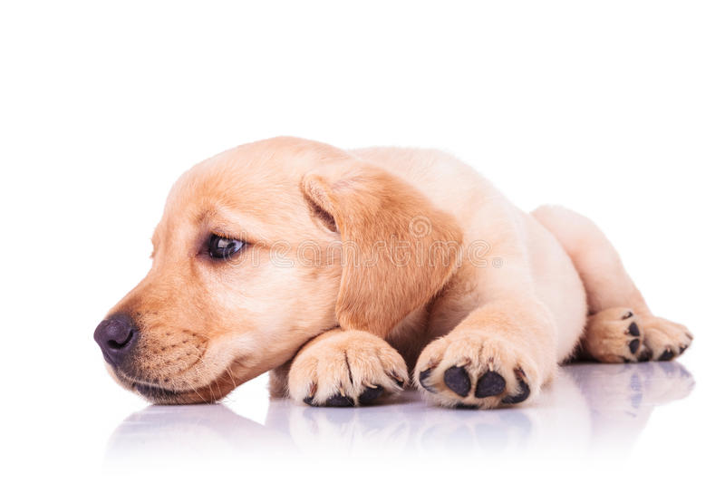 Sad little labrador retriever puppy dog with head on paws. Looks away to its side on white background stock image