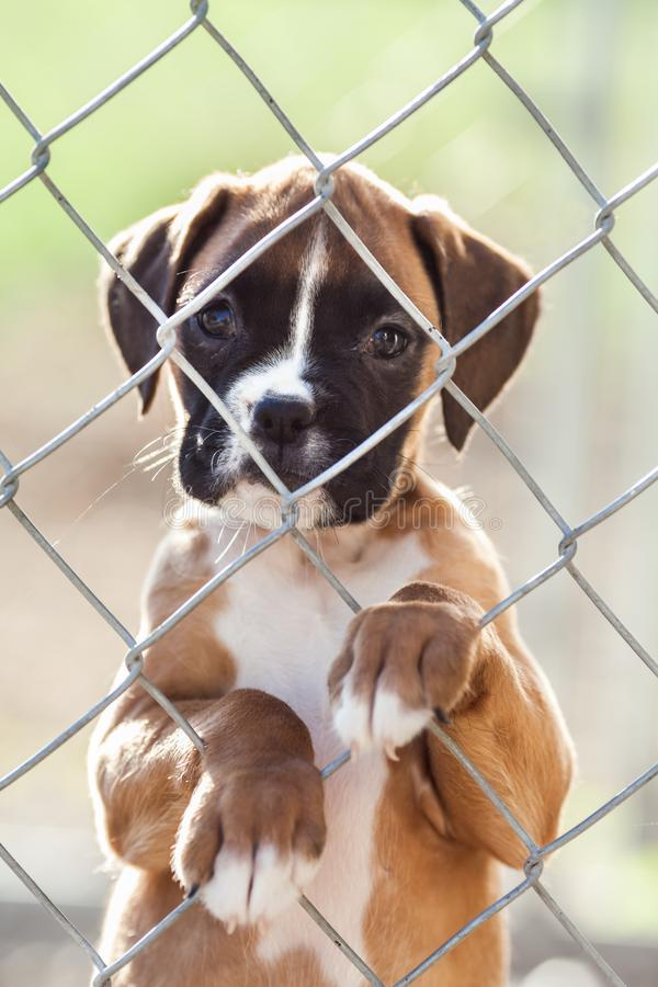 Sad Little Puppy. Sad little brown and white puppy caged behind a chain link fence stock images