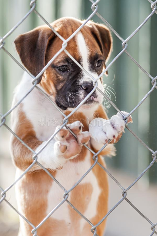 Sad Little Puppy. Sad little brown and white puppy caged behind a chain link fence royalty free stock photography