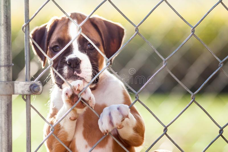 Sad Little Puppy. Sad little brown and white puppy caged behind a chain link fence royalty free stock photos