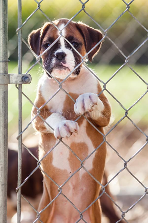 Sad Little Puppy. Sad little brown and white puppy caged behind a chain link fence stock photos