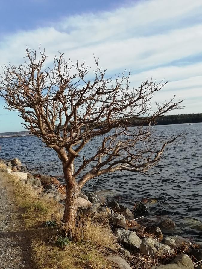 Sad lonely tree by the sea royalty free stock photo