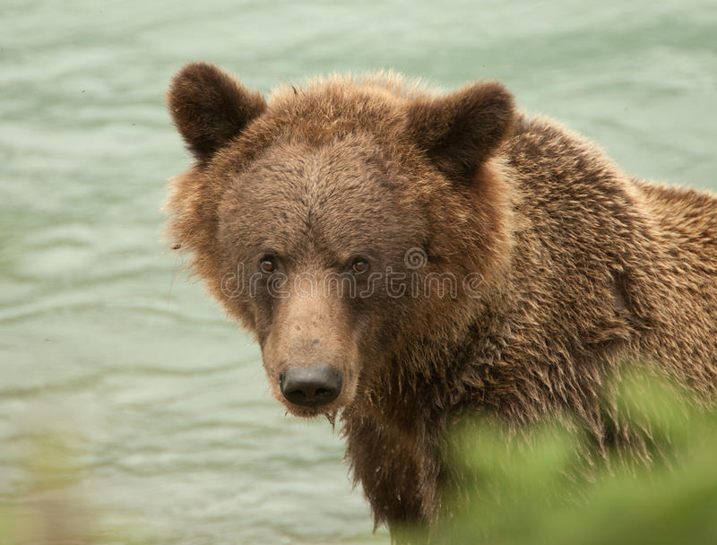 Alaska Brown Bear closeup royalty free stock photography