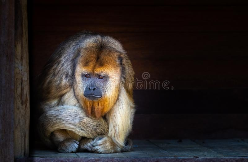 Sad looking howler monkey stock images