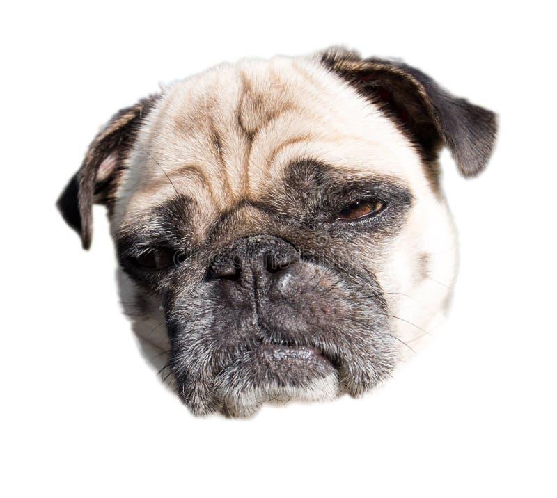 Sad looking pug dog. Portrait of a sad looking pug dog isolated head royalty free stock image