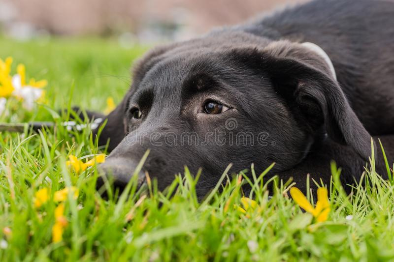 Sad looking young black puppy of labrador dog in grass stock photo