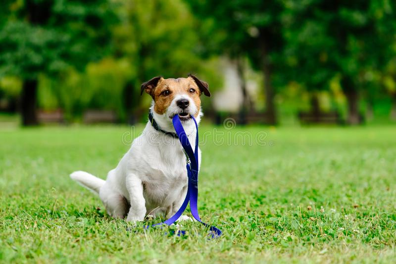 Sad lost dog with leash in mouth as concept of abandon pet needs adoption. Jack Russell Terrier fetches its own leash stock photography