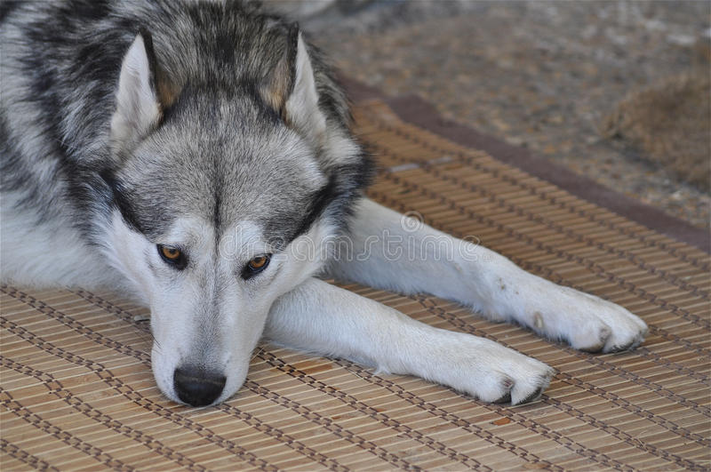 Sad Malamute. A dog is resting outside with a sad expression royalty free stock images