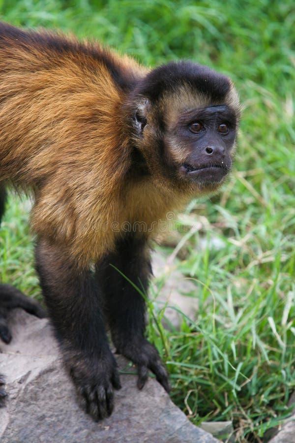 Download Sad Monkey stock photo. Image of face, primate, apella - 15219974