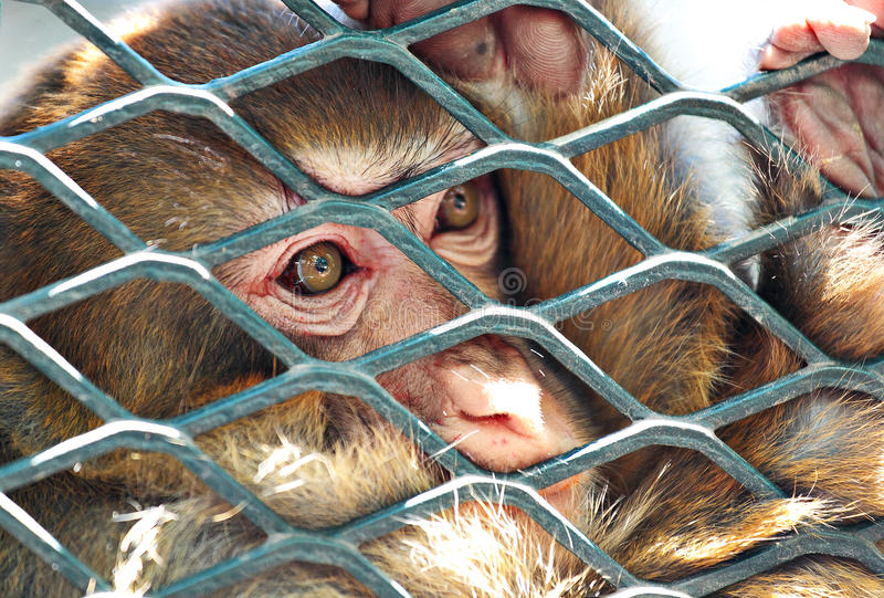 Sad monkey in cage royalty free stock photos