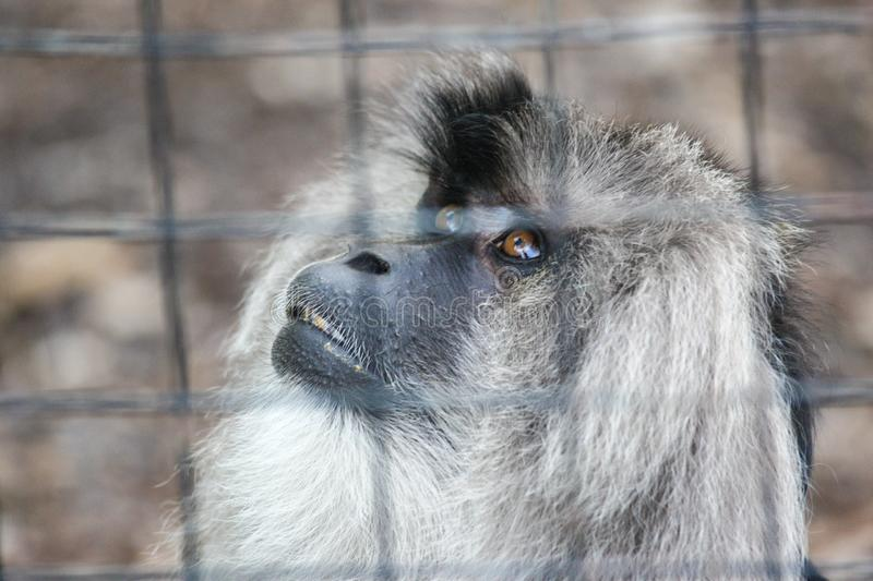 Sad monkey in a cage stock images