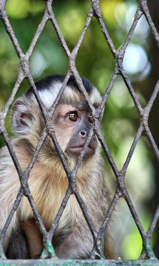 Sad Monkey in cage. Portrait of a monkey feeling loneliness and sadness behind jail