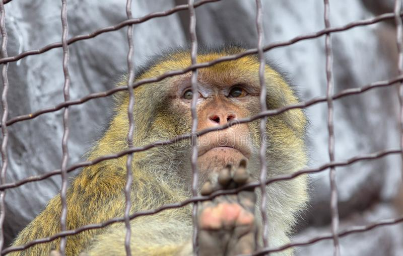 Sad monkey in a cage royalty free stock photos
