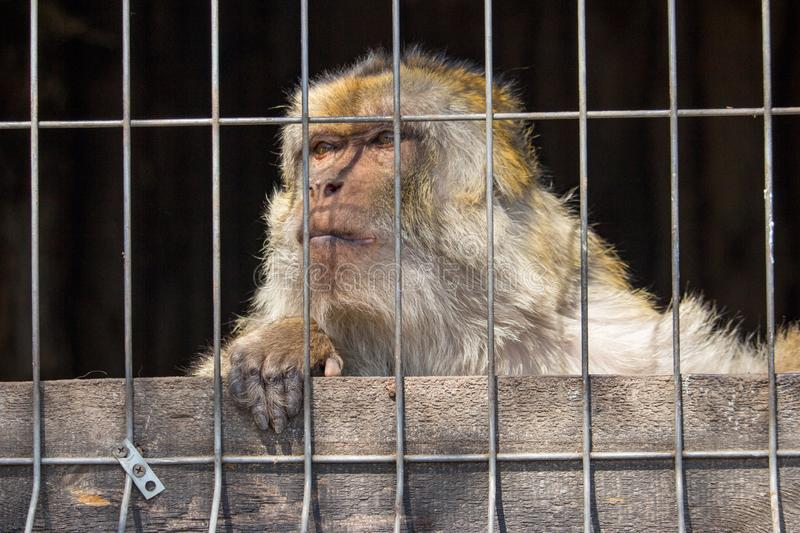 Sad monkey in cage at zoo. Lonely macaque in cell looking forward. Caged hairy primate at zoo. Cruelty and sadness concept. royalty free stock photo