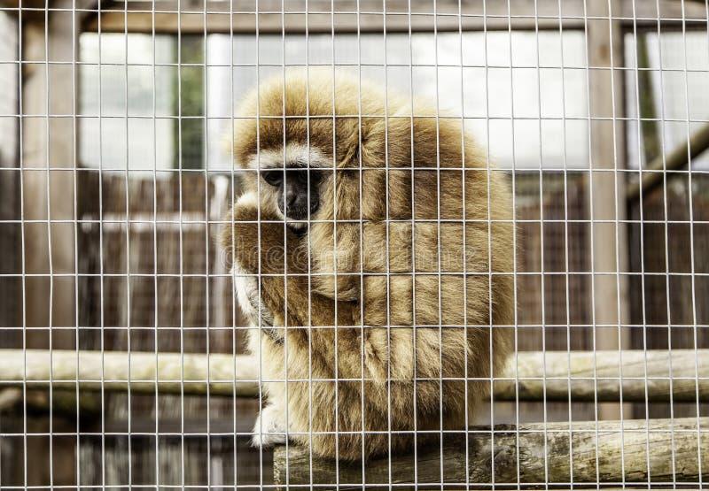 Sad monkey caged stock photos