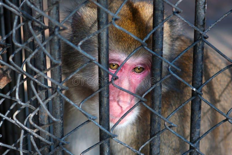 Download Sad Monkey Sitting In Prison Stock Photo - Image: 17547020