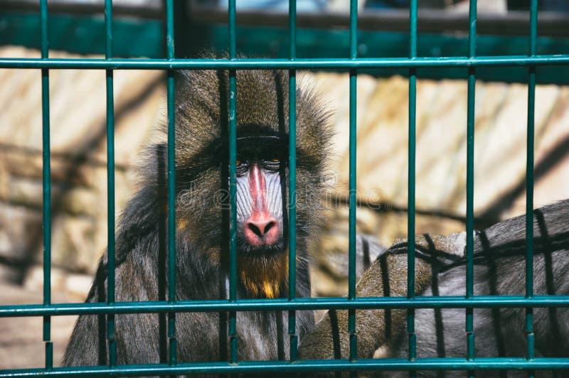 Sad monkey in zoo cage stock image