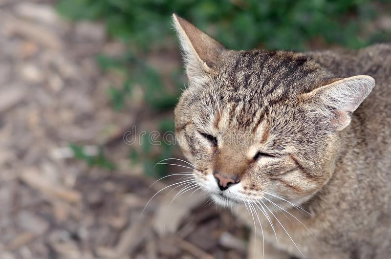 Sad muzzle portrait of a grey striped tabby cat with green eyes, selective focus stock photography
