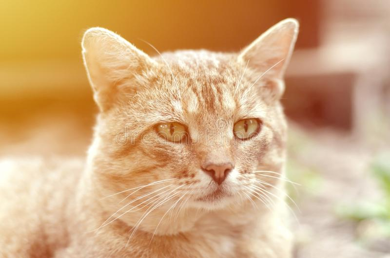 Sad muzzle portrait of a grey striped tabby cat with green eyes, selective focus stock images
