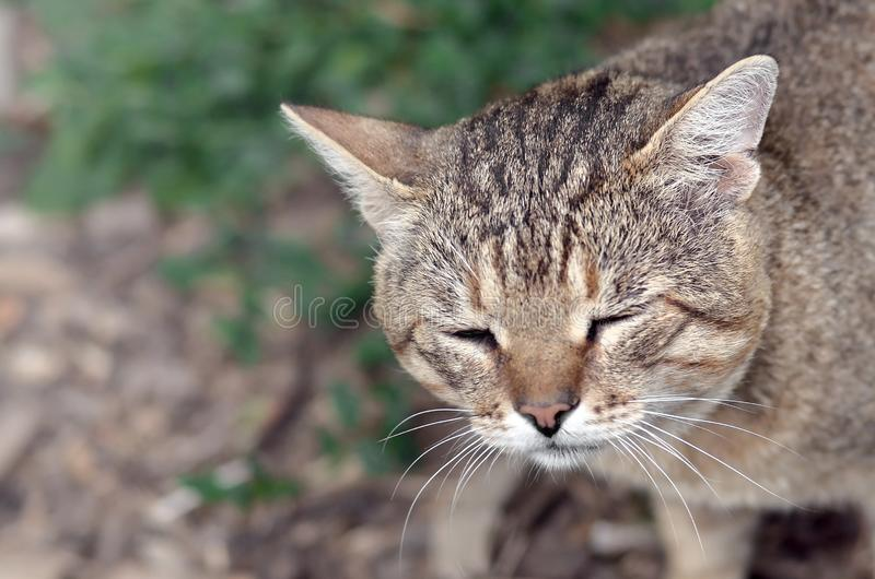 Sad muzzle portrait of a grey striped tabby cat with green eyes, selective focus royalty free stock image