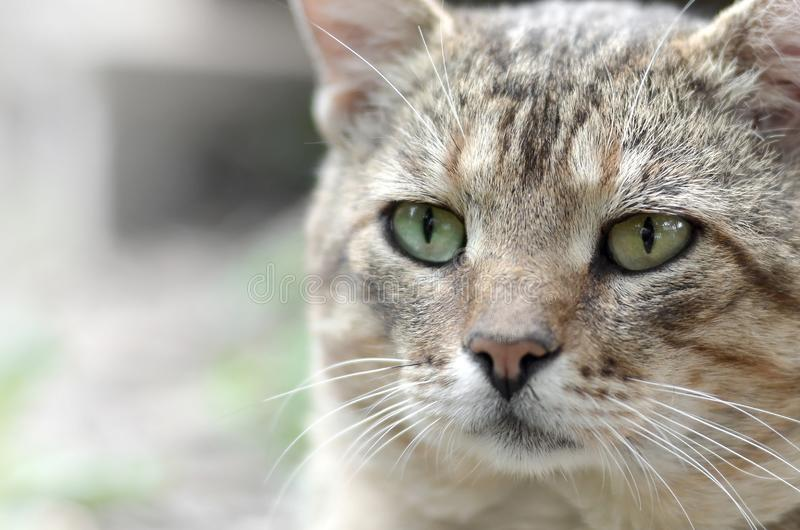 Sad muzzle portrait of a grey striped tabby cat with green eyes, selective focus. Muzzle portrait of a grey striped tabby cat with green eyes, selective focus stock images