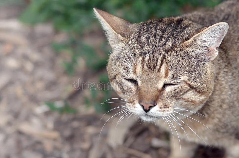 Sad muzzle portrait of a grey striped tabby cat with green eyes, selective focus. Muzzle portrait of a grey striped tabby cat with green eyes, selective focus royalty free stock images