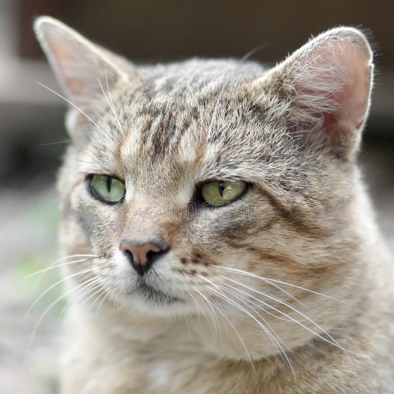 Sad muzzle portrait of a grey striped tabby cat with green eyes, selective focus. Muzzle portrait of a grey striped tabby cat with green eyes, selective focus stock image