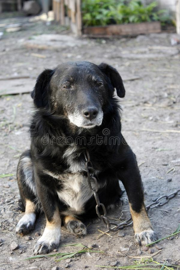 Sad old mongrel dog on a chain. Shaggy dog, dog guarding the house. Sad mongrel dog on a chain. Shaggy dog, the dog guards the house stock photos