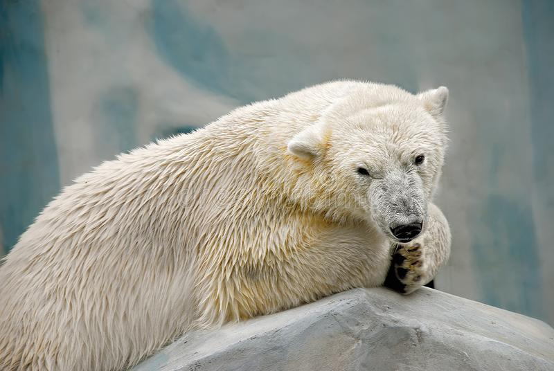 Close-up portrait of a polar bear lying on a stone stock photo