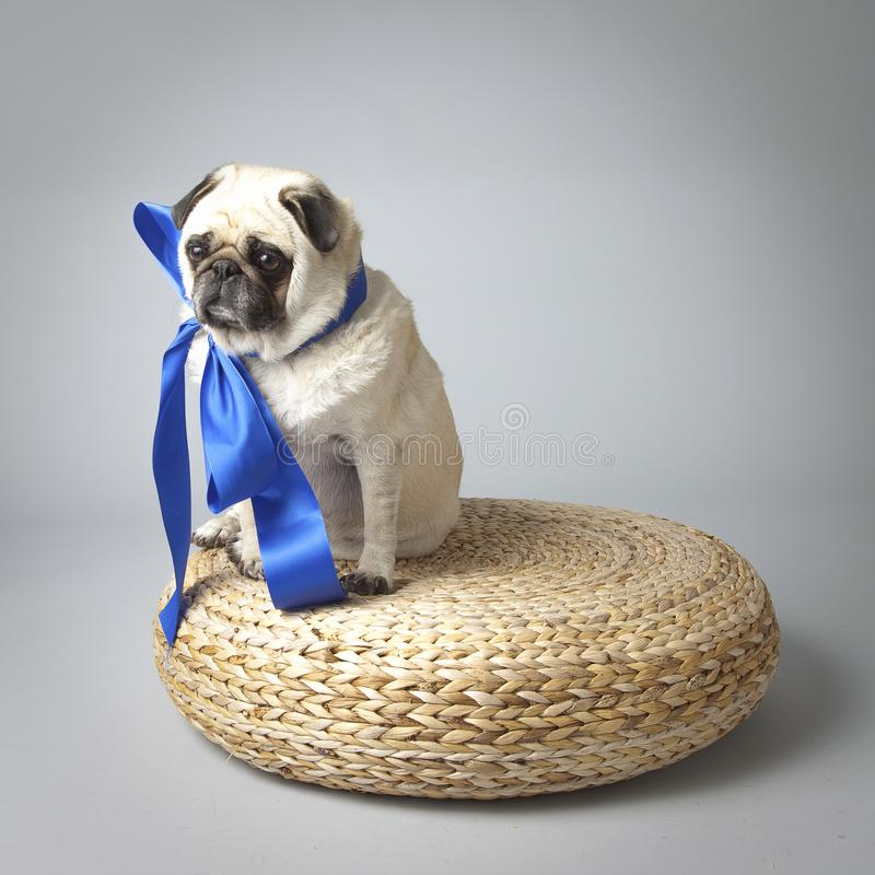Sad pouting Pug with wrinkled face looks lonely on a woven basket with a big blue bow stock illustration