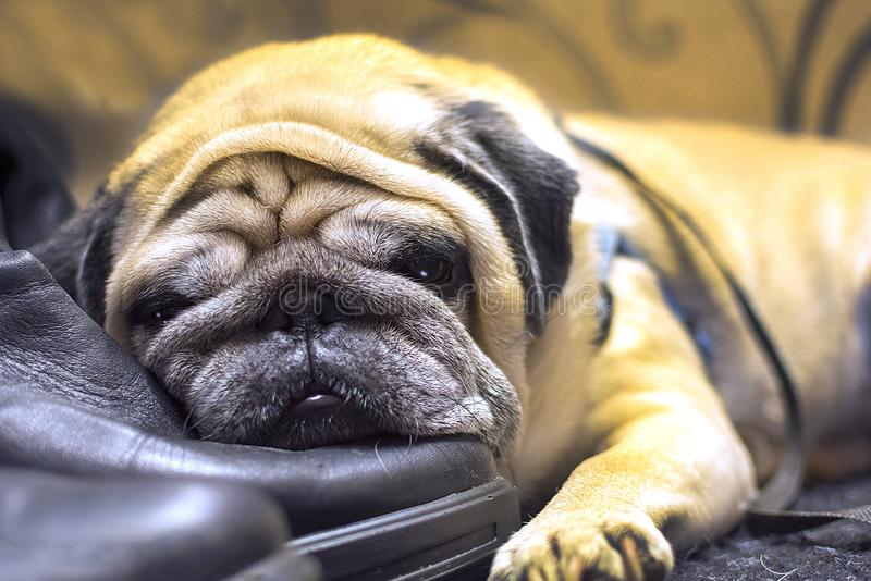A sad pug is bored. The dog laid her head on her master`s shoes. concept: loyalty and loyalty of dogs stock photos