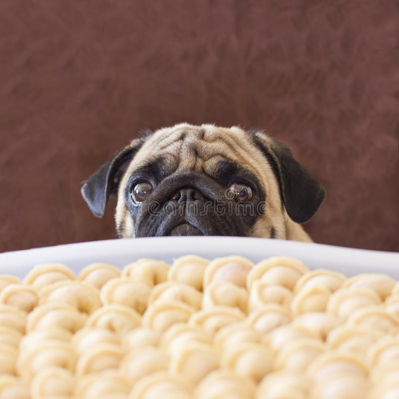 Sad pug dog asking food. Looking with big sorrow eyes at table. royalty free stock photo