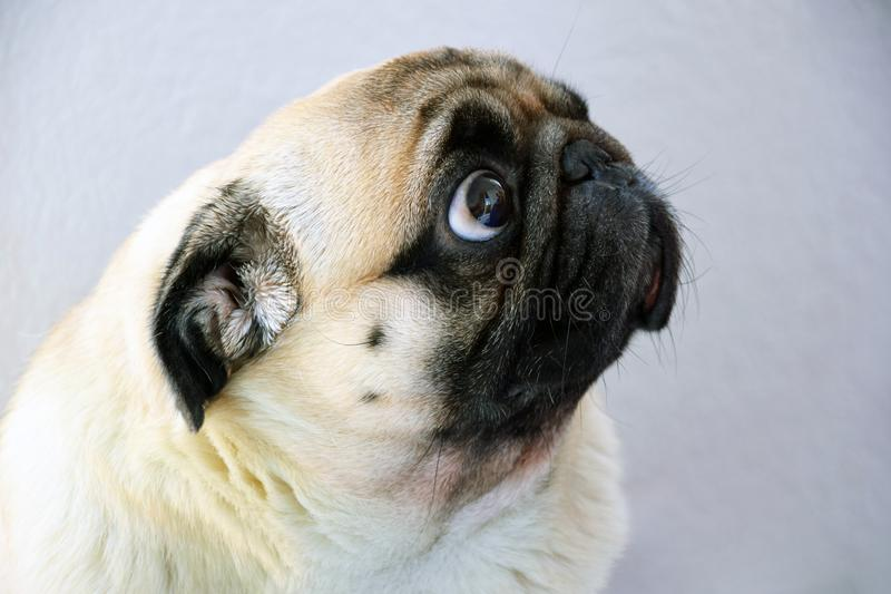 A sad pug dog with big sad eyes and a questioning gaze stock photography