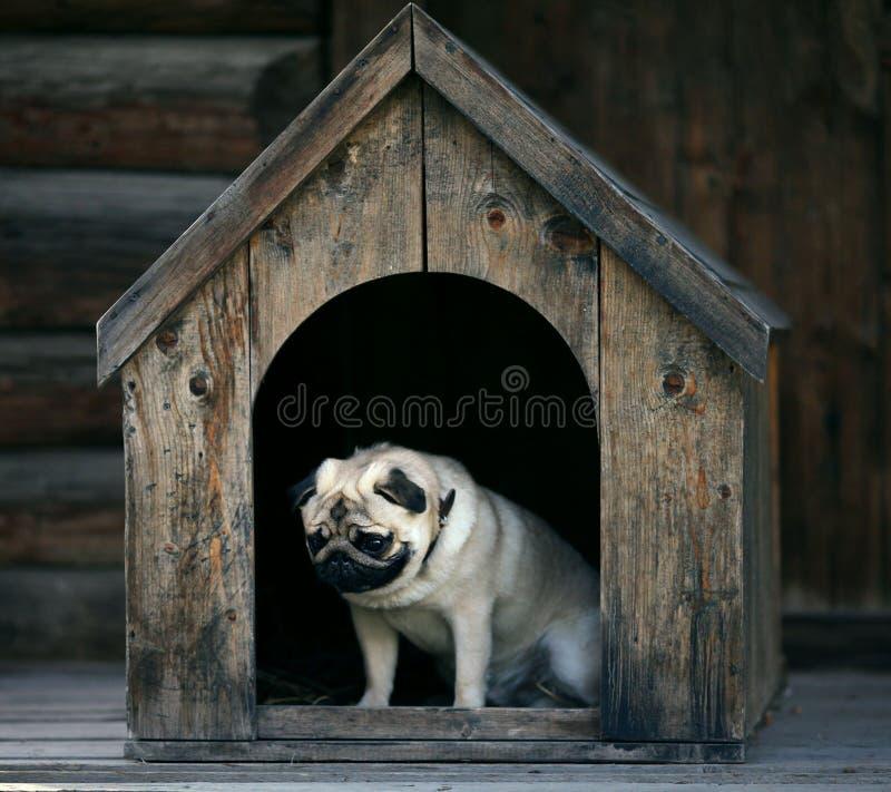 Sad pug dog in the dog house royalty free stock images