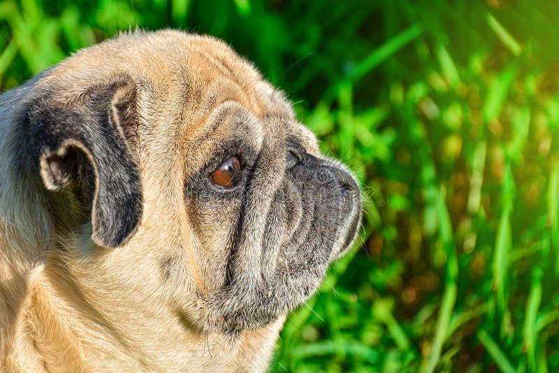 A sad pug dog is sitting among the greenery and watching the sunset. Pug relaxing and relaxing stock photos